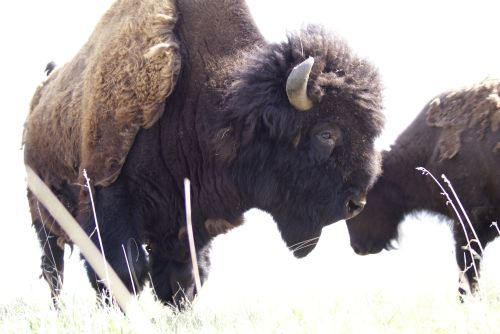 Bison in mist - photo courtesy of HGB bison ranch